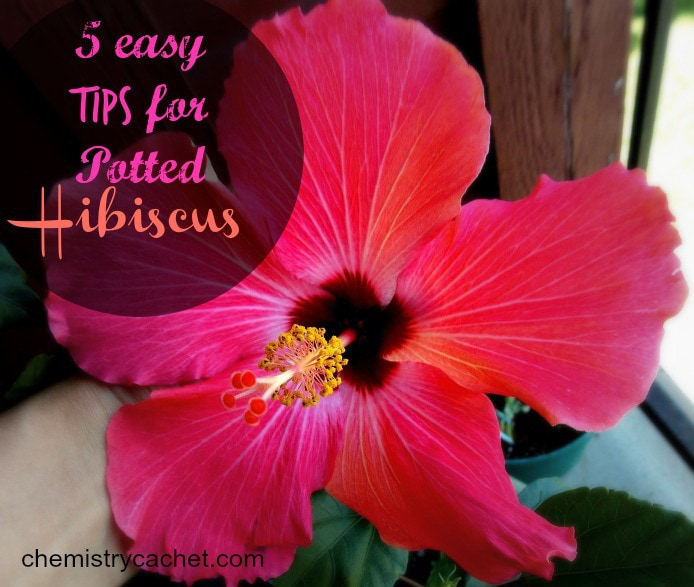 5-easy-tips-for-potted-hibiscus
