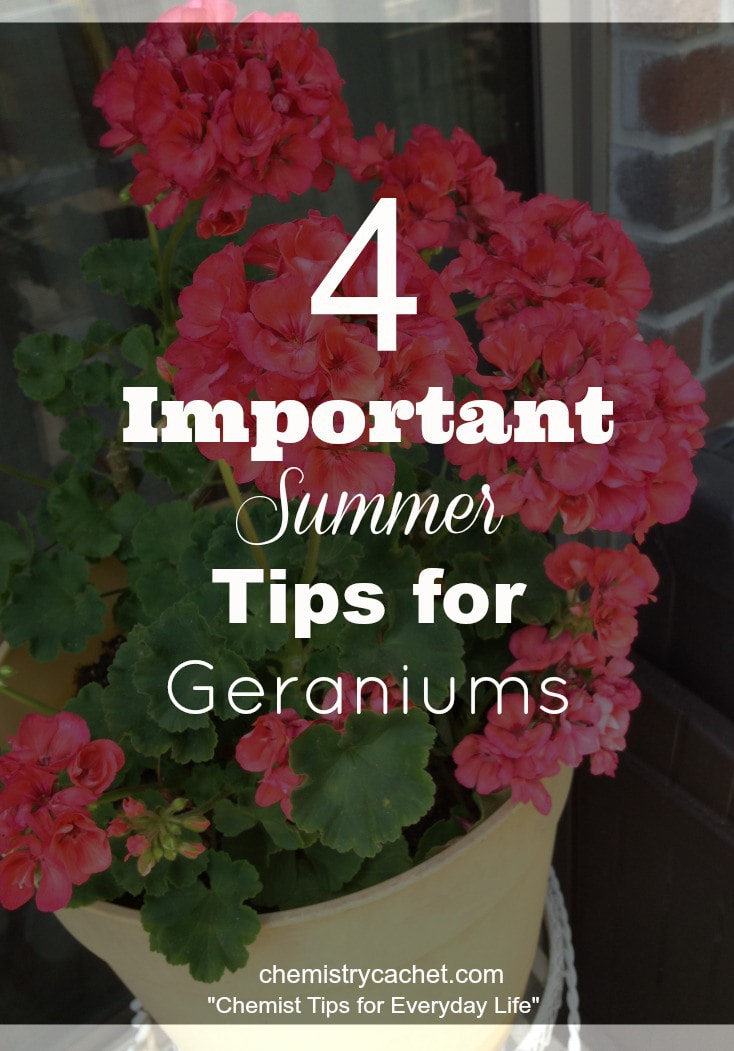 Important-summer-tips-to-follow-for-geraniums-to-keep-them-healthy-in-the-heat-on-chemistrycachet.com_